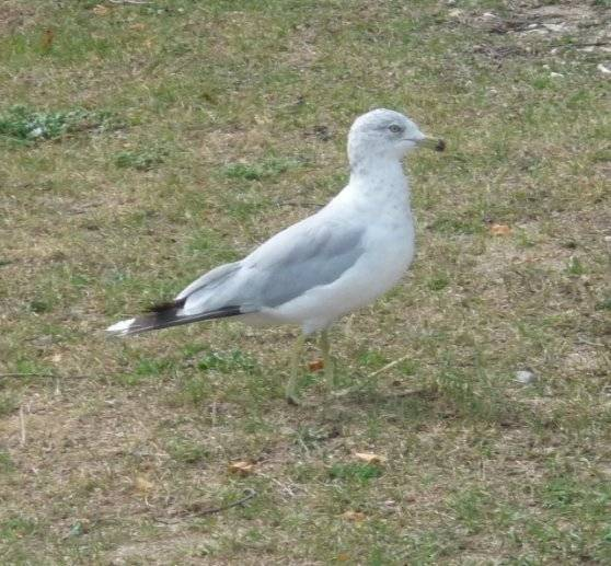 Alfred - Male Gull (8 months)