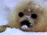 bébé phoque - Seal