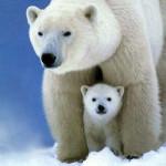 Teste - Polar Bear (1 year)