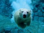 **White** - Polar Bear