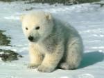 petit ours blanc - Male Polar Bear (2 months)
