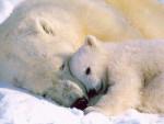 ours polaire calinou - Polar Bear