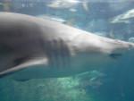 Naussicaa - Great White Shark (3 years)