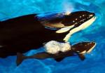 Orque et son petit - Orca Whale