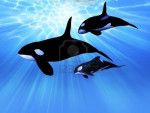 orcas - Orca Whale (1 year)