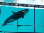 inouk - Male Orca Whale (14 years)