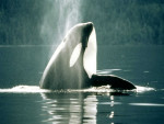 orque - Male Orca Whale (7 years)