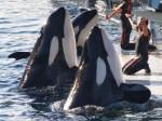 marineland - Male Orca Whale (4 years)