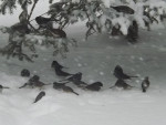 Birds - Chickadee (1 year)