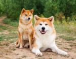 Un Shiba et un Akita - Dog