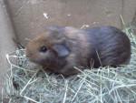 Caline - Guinea pig (11 months)