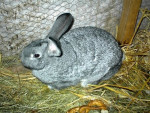 Lotte - Hare