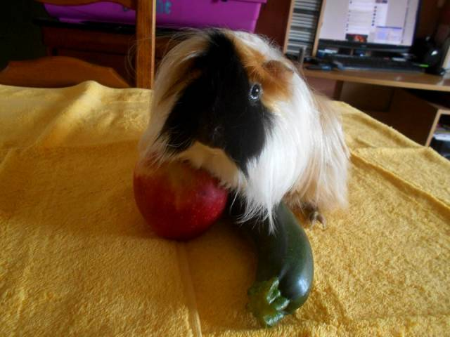 Castiel - Male Long haired Guinea pig (3 years)