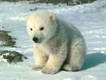 osito polar - (4 months)