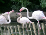 flamant rose -