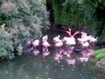 Flamants -