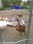 Choco - Male (1 year)