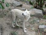 loup - Wolf